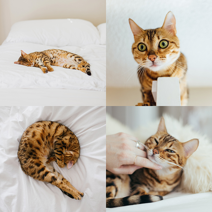 creative pet portrait collage, four photographs of a stripy brown cat on white bed