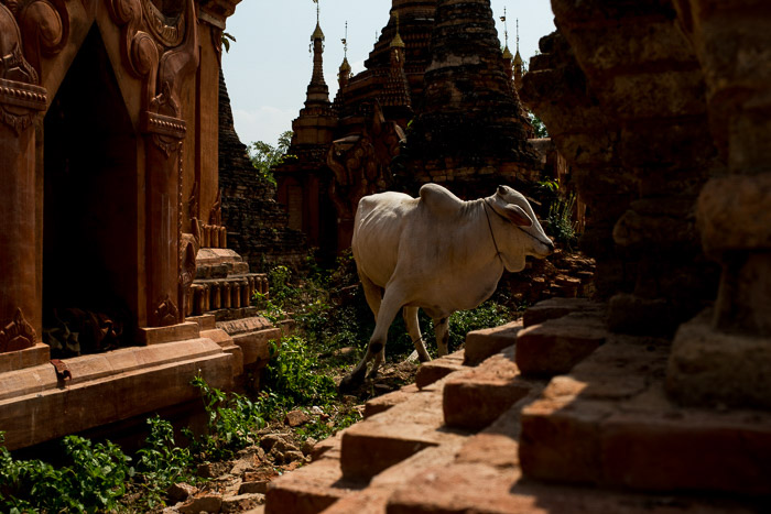 A white cow in the midst of ancient temples