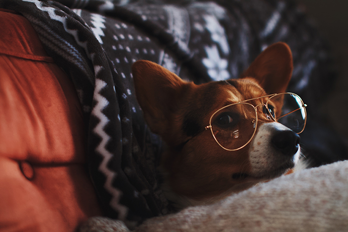 fun close up pet portrait of a brown dog in bed wearing glasses