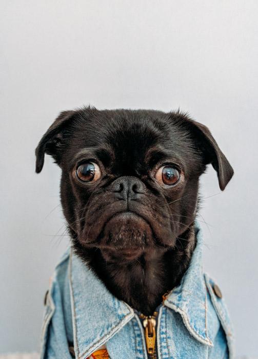 humorous photo of a black pug in a denim jacket