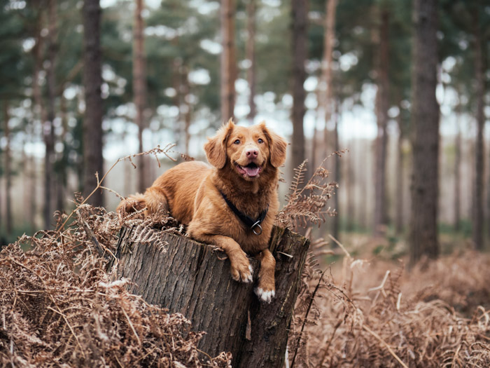 A brown dog sitting on a tree stump in a forest