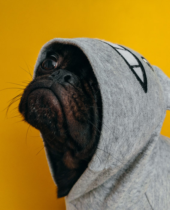 A pug in a grey hoodie against a yellow background