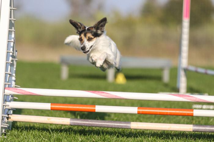 A small dog jumping an agility fence