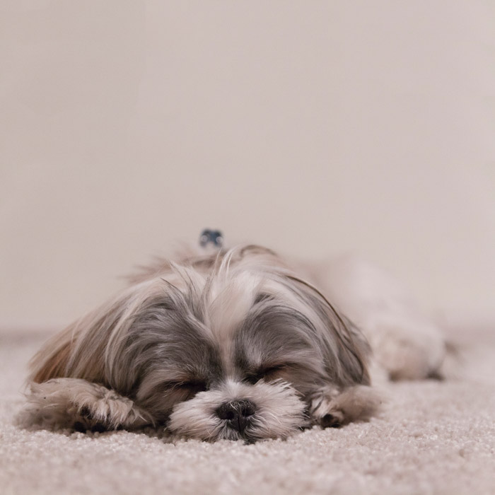 A fluffy white and grey dog sleeps on a similarly colored carpet