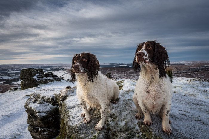Two brown and white dogs on a beach
