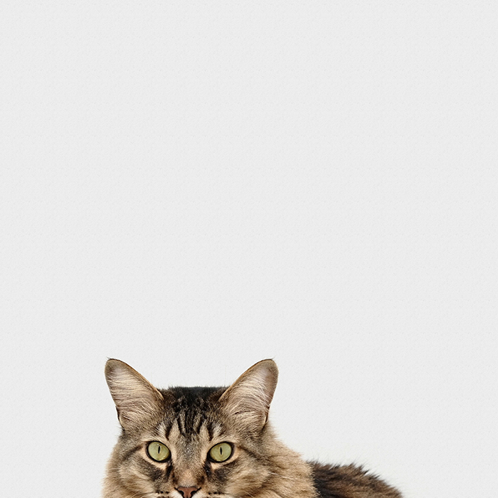 A fluffy brown cat against a white background