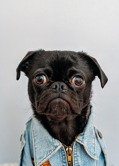 cute creative portrait of a black pug dog wearing denim jacket and looking towards the camera