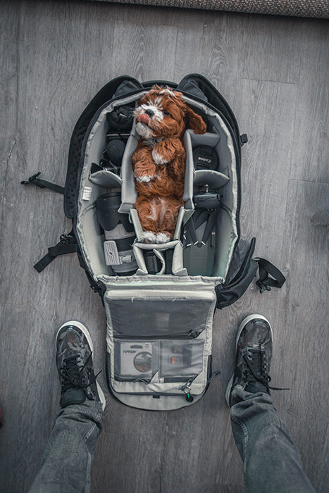 creative pet portrait of a small brown dog packed into the middle of a camera bag, shot from above