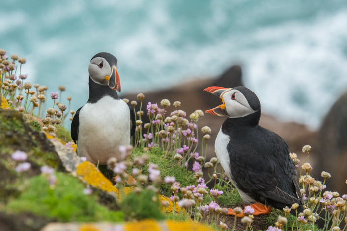 Two puffins chatting