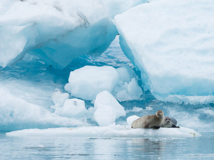 Two seals on an iceberg
