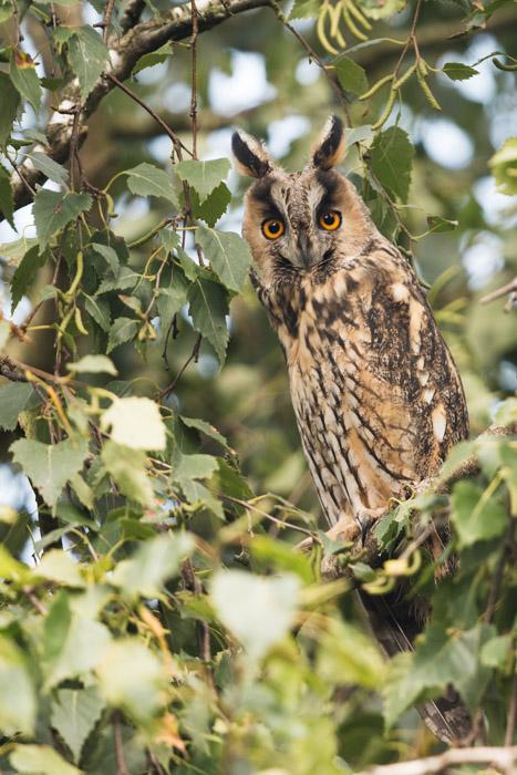 An owl in a tree