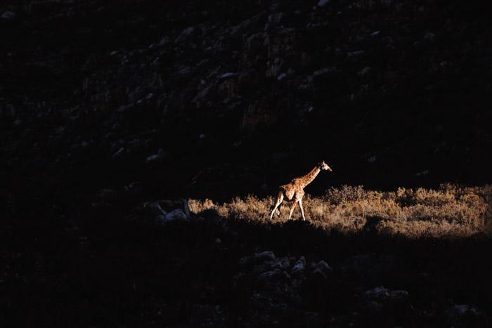 A giraffe walking at night