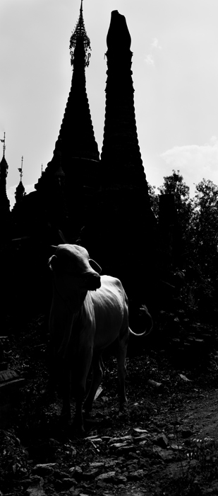 Deep shadows create a moody contrast between a white cow and pagodas in the background,