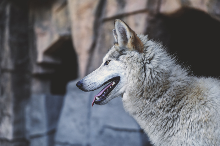 Profile portrait of a Czechoslovakian Wolfdog looking towards the left of the frame. Improve your photography skills today.