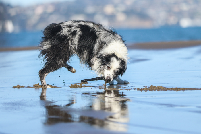 Photo of a wet black and white dog playing on the beach. Improve your photography skills today.
