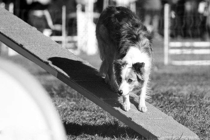 Black and white pet photography of a Border Collie.
