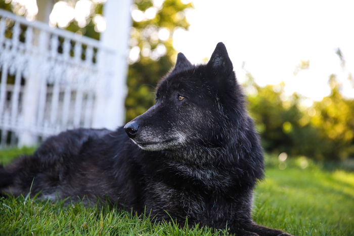 Pet photography of a black dog on grass.
