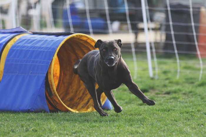 Pet photography of a black dog running through an agility tunnel.