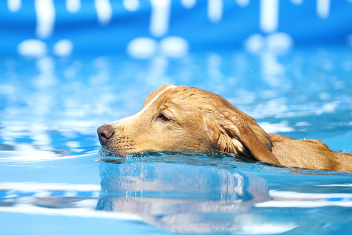 Pet photography of a labrador swimming.