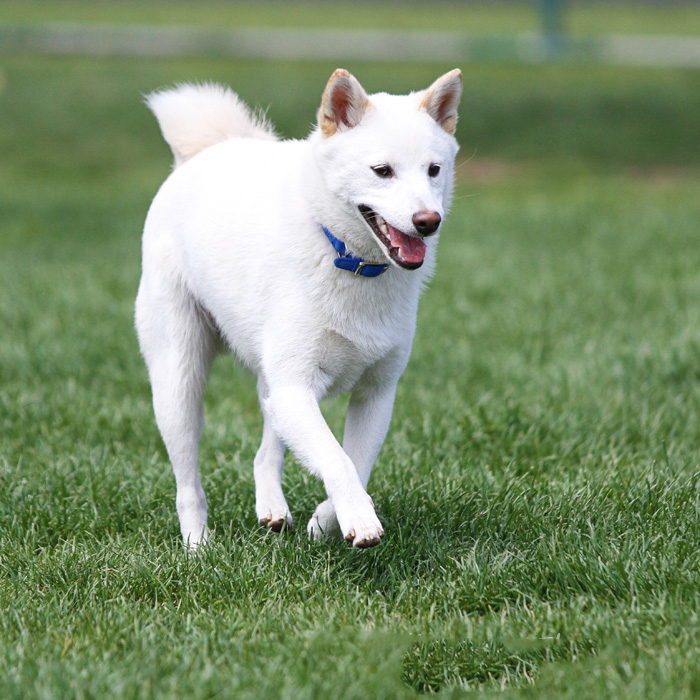 Pet photography of a white dog on grass.