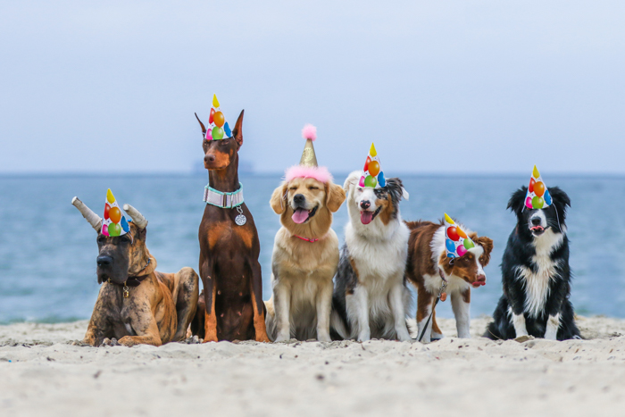 A pet photography portrait of 6 dogs on a beach wearing party hats using a telephoto lens.