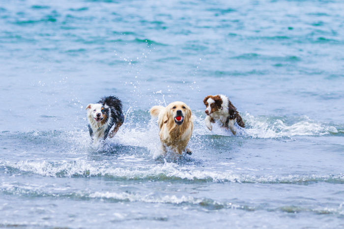 A pet photography portrait of three dogs running through the waves on a beach using a telephoto lens.