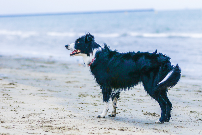 A pet photography portrait of a border collie dog standing on a beach using a telephoto lens.
