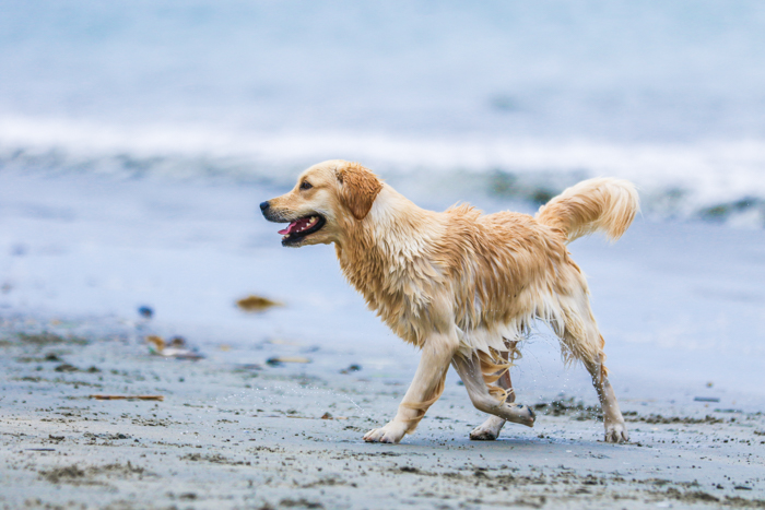 A pet photography portrait of a golden retriever on a beach using a telephoto lens.