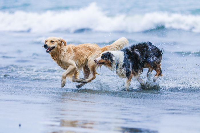 A pet photography portrait of two dogs running on a beach using a zoom lens.