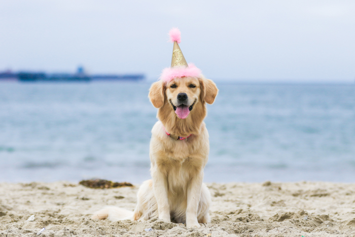 A pet photography portrait of a dog on a beach wearing a party hat using a zoom lens.