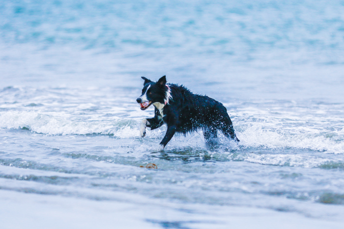 A pet photography portrait of a border collie running through the waves on a beach using a zoom lens.