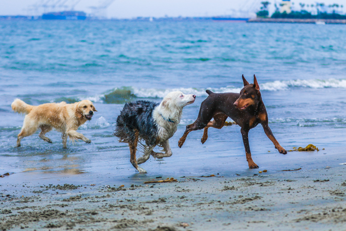 A pet photography portrait of three dogs running and playing on a beach using a telephoto lens.