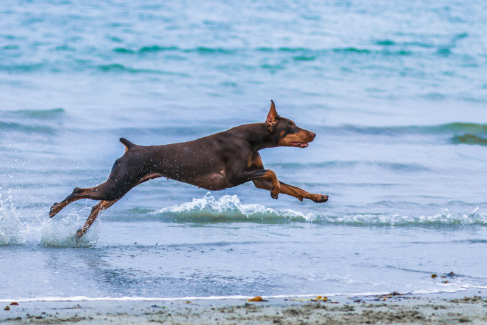 A pet photography portrait of a brown dog running on a beach using a telephoto lens.