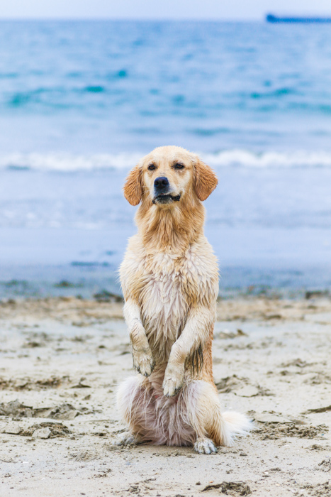 A pet photography portrait of a dog on a beach using a zoom lens.