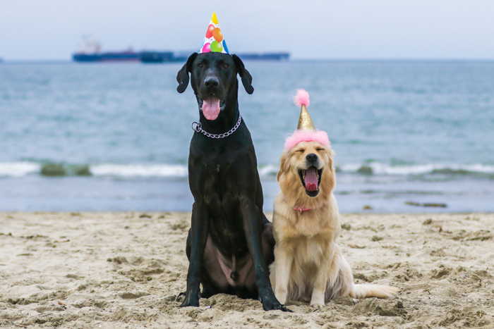 A pet photography portrait of two dogs on a beach wearing party hats using a zoom lens.