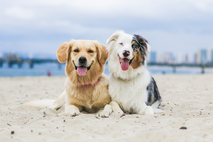 A pet photography portrait of two dogs on a beach using a telephoto lens.