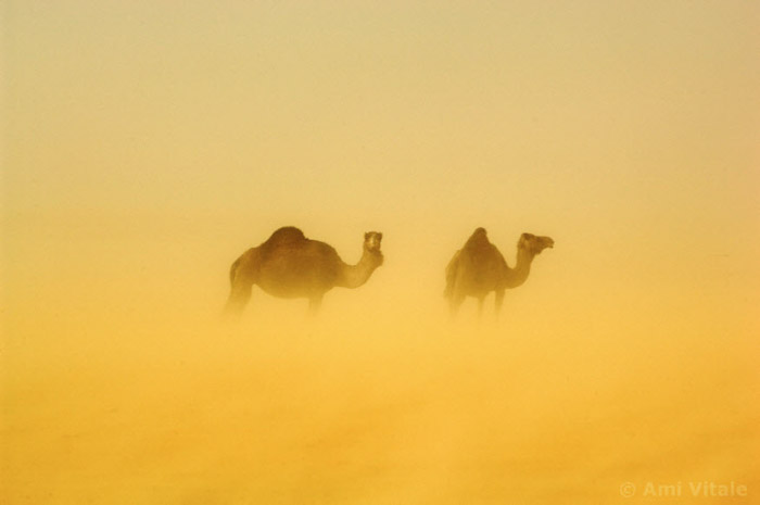 Atmospheric ghostly image of 2 camels by Ami Vitale. Famous photographers to follow.