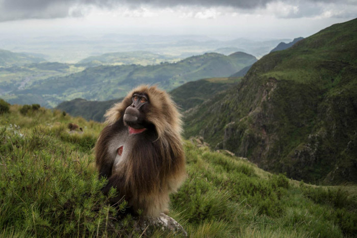 Portrait of a Gelado monkey in a luscious mountainous landscape in Ethiopia by Jeff Kirby. Famous photographers to follow.