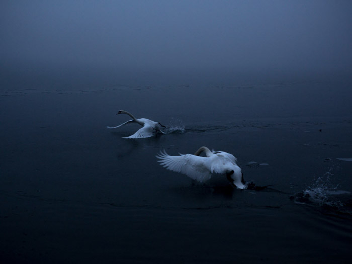 Atmospheric photo of 2 swans landing on water by Michaela Skovranova. Famous photographers to follow online