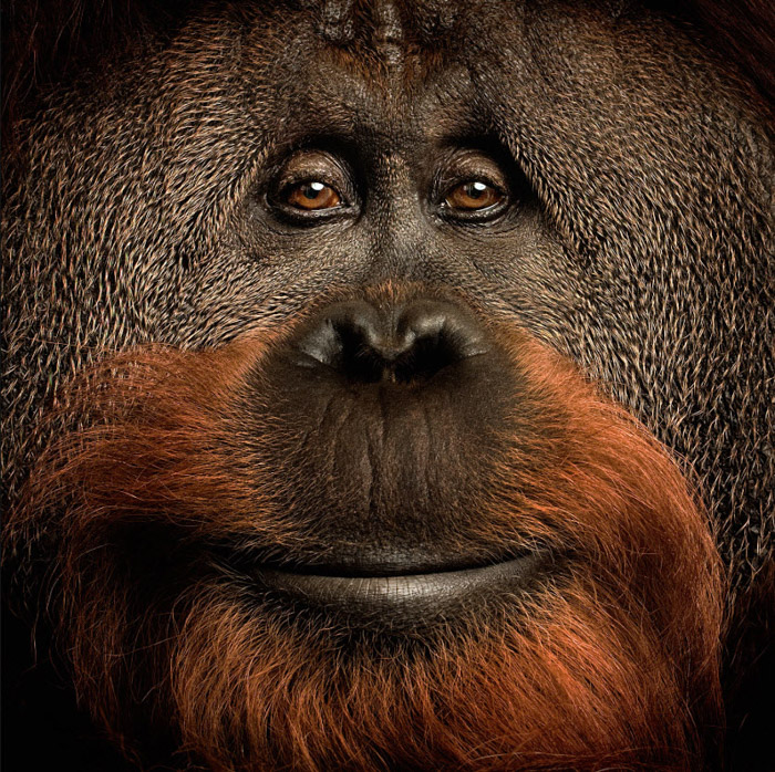 Vincent J Musi's serene close up portrait photography of an Orangutan. Famous photographers to follow.