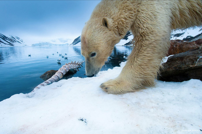 Florian Schulz wildlife photography of a polar bear on ice. Famous photographers to follow online.