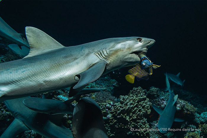 Laurent Ballesta underwater photograph of a shark eating a fish. Famous photographers to follow online