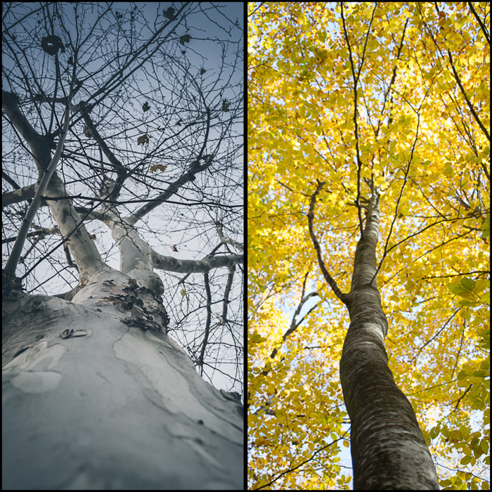 Diptych photo collage showing different images of a tree shot from underneath - this photographer chooses the theme of trees for the photo walk