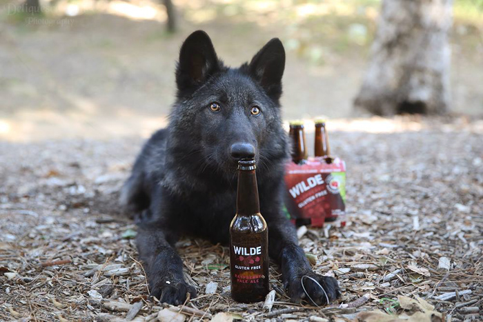 A commercial photography shot of a black dog sniffing a bottle of beer