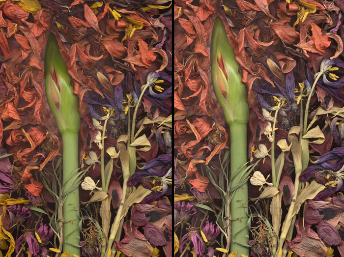 A diptych of the same scanography image of a flower surrounded by petals to show before and after tonal balancing.