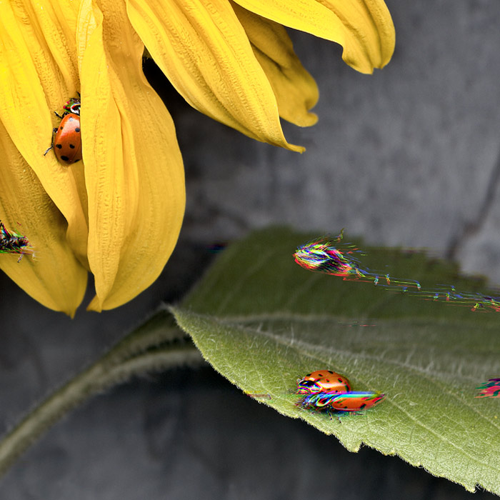 An interesting scanography arrangement of a yellow flower and leaf with live ladybirds