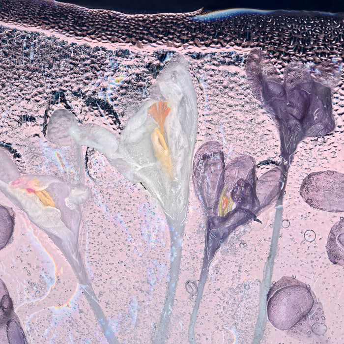Stunning scanography example of crocuses behind glass