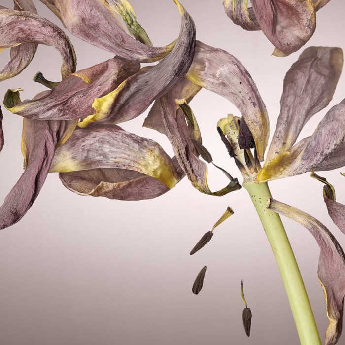 Beautiful scanography shot of a light pink flower, its petals broken off and seeds falling from the centre
