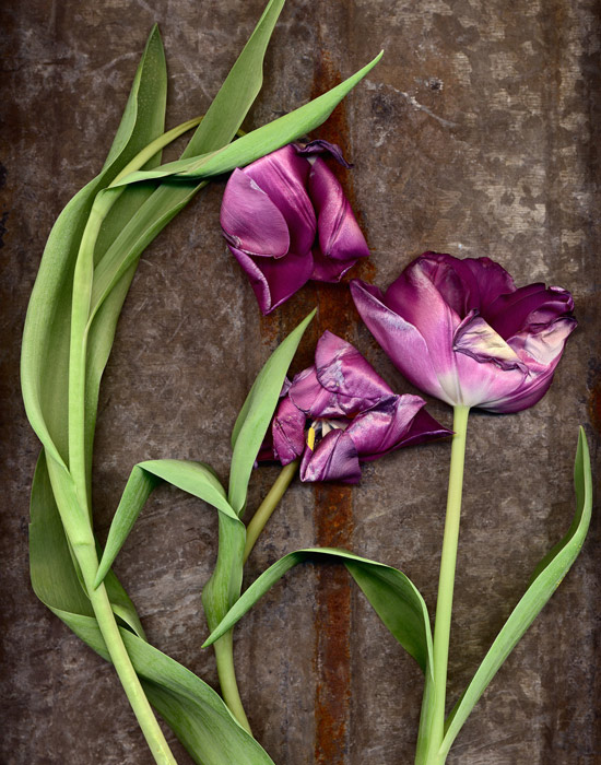 3 purple tulips captured by being placed on a flatbed scanner