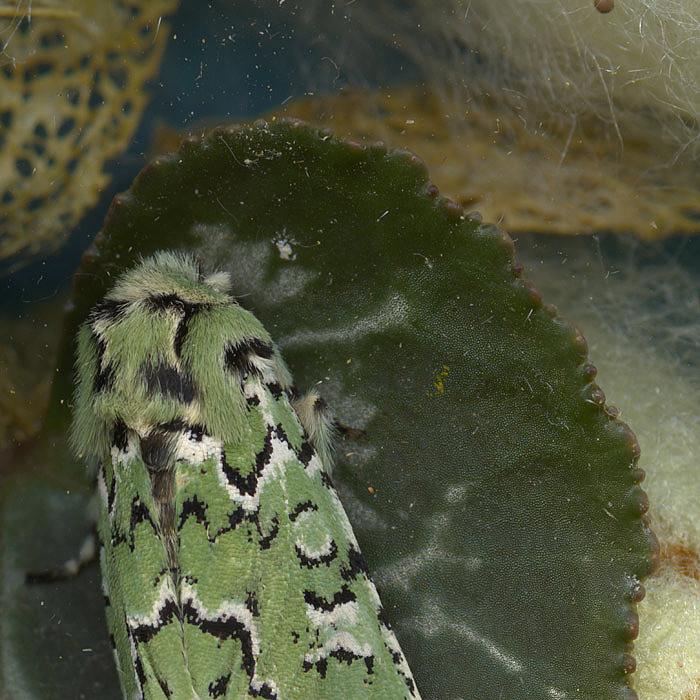 A dusty scanography shot of a green moth on a leaf
